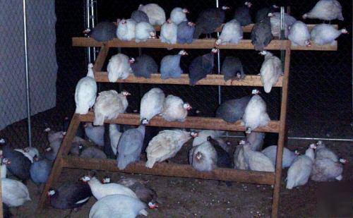 28 Guinea Fowl Hatching Eggs 13 Colors Chocolate Slate