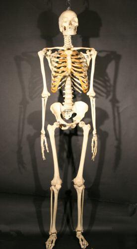 real human skeleton, Skeleton